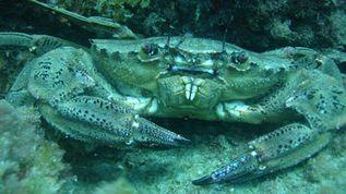 ecole_de_plongee_setoise_sites_crabe